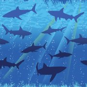 Nappe Requin