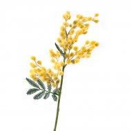 Branche Mimosa